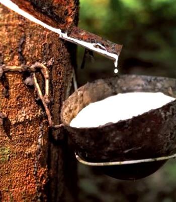 Natural talalay latex from tree sap